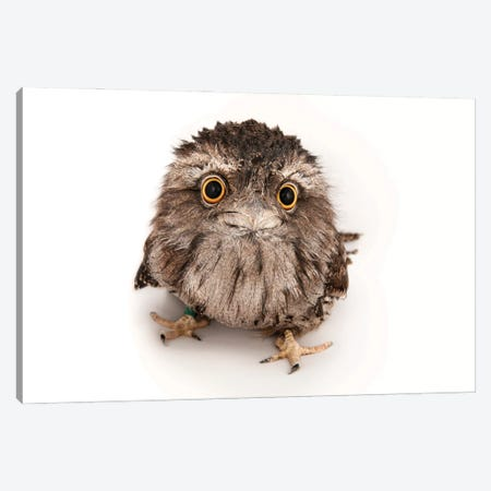 A Tawny Frogmouth At The Fort Worth Zoo Canvas Print #SRR187} by Joel Sartore Canvas Artwork