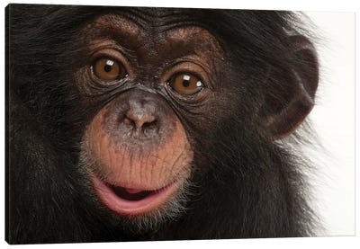 A Three-Month-Old Baby Chimpanzee Named Ruben At Tampa's Lowry Park Zoo I Canvas Art Print