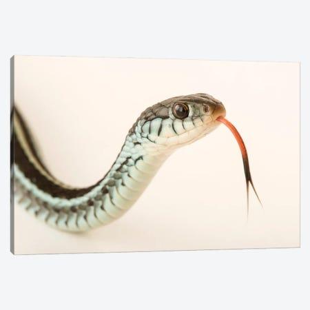 A Bluestripe Garter Snake In Gainesville, Florida Canvas Print #SRR18} by Joel Sartore Canvas Wall Art