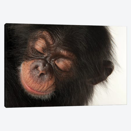 A Three-Month-Old Baby Chimpanzee Named Ruben At Tampa's Lowry Park Zoo II Canvas Print #SRR190} by Joel Sartore Canvas Wall Art