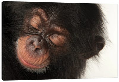 A Three-Month-Old Baby Chimpanzee Named Ruben At Tampa's Lowry Park Zoo II Canvas Art Print