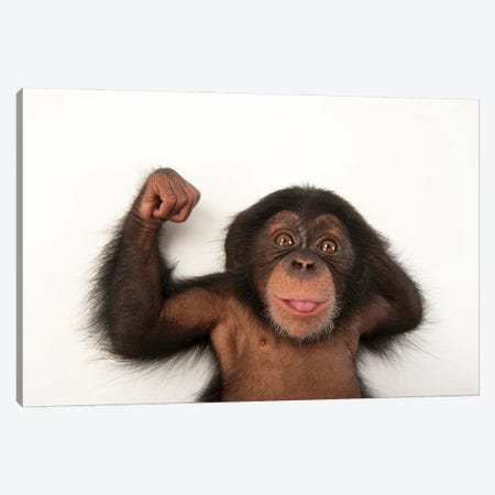 A Three-Month-Old Baby Chimpanzee Named Ruben At Tampa's Lowry Park Zoo III Canvas Print #SRR191} by Joel Sartore Canvas Art