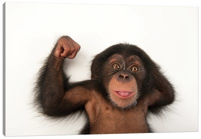 A Three-Month-Old Baby Chimpanzee Named Ruben At Tampa's Lowry Park Zoo III Canvas Art Print