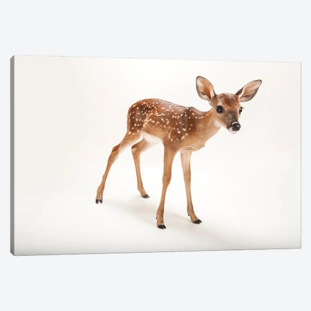 A Three-Week-Old White-Tailed Deer Fawn At The Gladys Porter Zoo I Canvas Print #SRR192} by Joel Sartore Canvas Wall Art