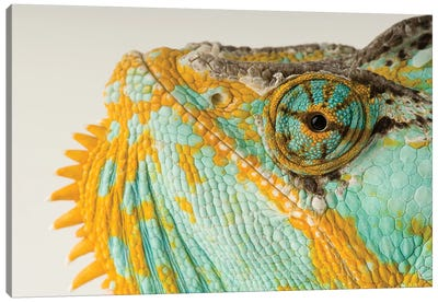 A Veiled Chameleon At Rolling Hills Wildlife Adventure Canvas Art Print