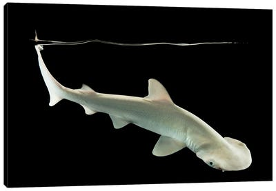 A Bonnethead Shark Or Shovelhead At Shark Reef Aquarium Canvas Art Print