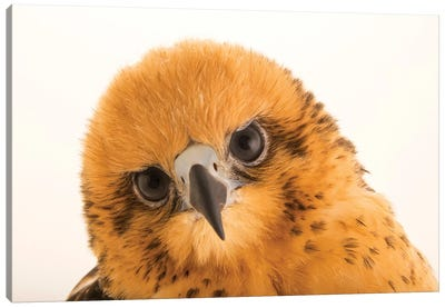 A 13-Week, Female Hawaiian Hawk At SIA, The Comanche Nation Ethno-Ornithological Initiative Canvas Art Print