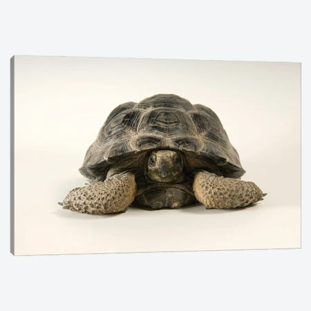 A Volcan Darwin Giant Tortoise At Omaha's Henry Doorly Zoo And Aquarium Canvas Print #SRR201} by Joel Sartore Canvas Artwork