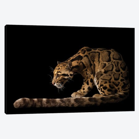 A Vulnerable And Federally Endangered Clouded Leopard At The Houston Zoo I Canvas Print #SRR202} by Joel Sartore Canvas Wall Art
