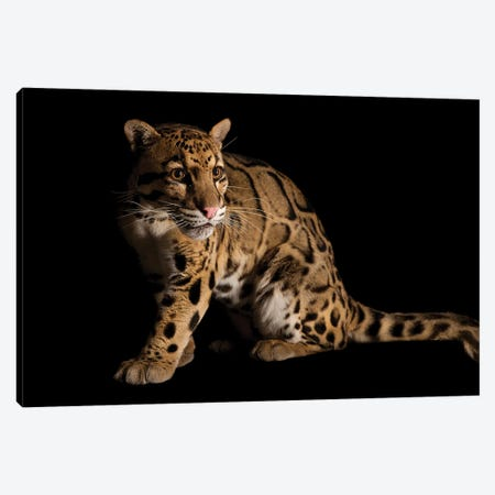 A Vulnerable And Federally Endangered Clouded Leopard At The Houston Zoo II Canvas Print #SRR203} by Joel Sartore Canvas Art