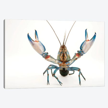 A Vulnerable Common Yabby At The Healesville Sanctuary II Canvas Print #SRR205} by Joel Sartore Canvas Art Print