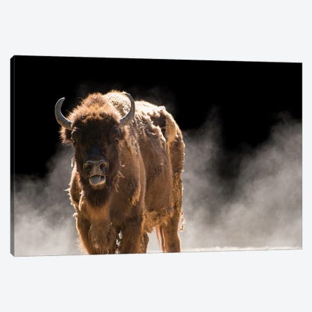 A Vulnerable European Wisent At The Madrid Zoo Canvas Print #SRR206} by Joel Sartore Canvas Art Print
