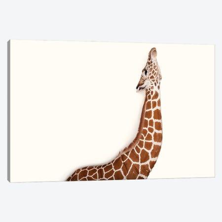 A Vulnerable Reticulated Giraffe At Rolling Hills Wildlife Adventure Near Salina, Kansas Canvas Print #SRR207} by Joel Sartore Art Print