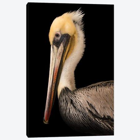 A Brown Pelican At The Santa Barbara Wildlife Care Network Canvas Print #SRR20} by Joel Sartore Art Print