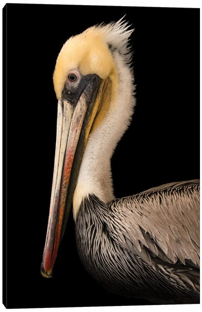 A Brown Pelican At The Santa Barbara Wildlife Care Network Canvas Art Print