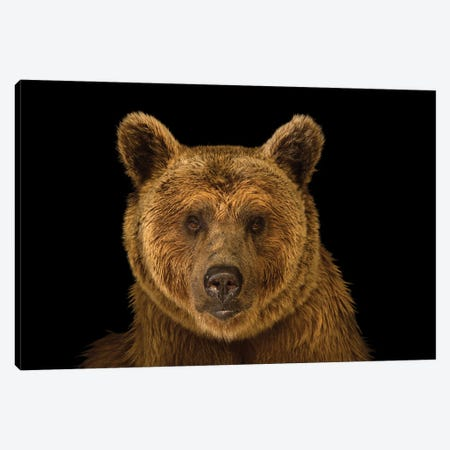 A Vulnerable Syrian Brown Bear At The Budapest Zoo Canvas Print #SRR211} by Joel Sartore Art Print