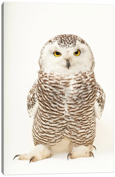 A Young Female Snowy Owl At The Raptor Recovery Center, In Elmwood, Nebraska Canvas Art Print