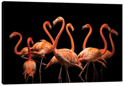 American Flamingos At The Lincoln Children's Zoo Canvas Art Print