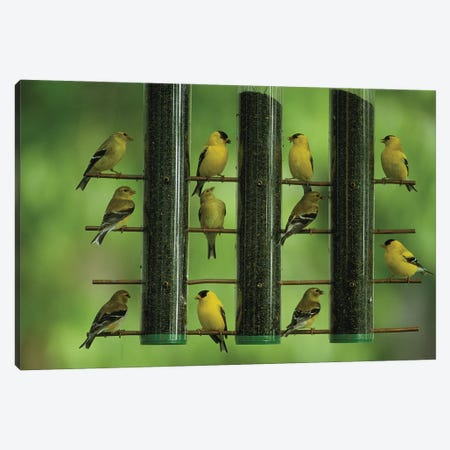 American Goldfinches Feed On Thistle Seed From A Garden Feeder Canvas Print #SRR219} by Joel Sartore Art Print
