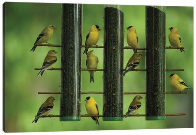 American Goldfinches Feed On Thistle Seed From A Garden Feeder Canvas Art Print