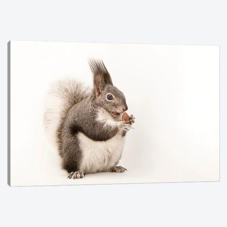 An Albert's Squirrel At Liberty Wildlife Canvas Print #SRR222} by Joel Sartore Canvas Wall Art