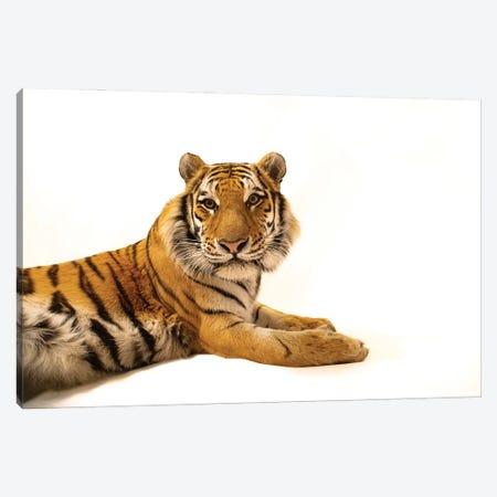 An Amur Tiger At The Cheyenne Mountain Zoo I Canvas Print #SRR224} by Joel Sartore Canvas Art Print