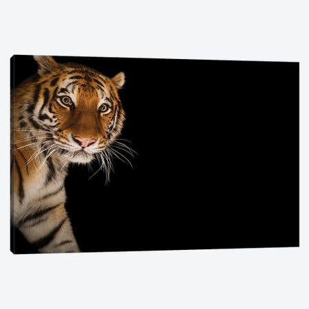 An Amur Tiger At The Cheyenne Mountain Zoo II Canvas Print #SRR225} by Joel Sartore Art Print