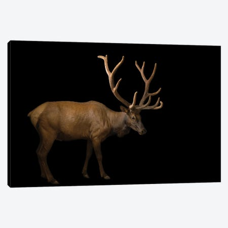 A Bull Elk With His Antlers In Velvet At The Oklahoma City Zoo Canvas Print #SRR22} by Joel Sartore Canvas Art Print