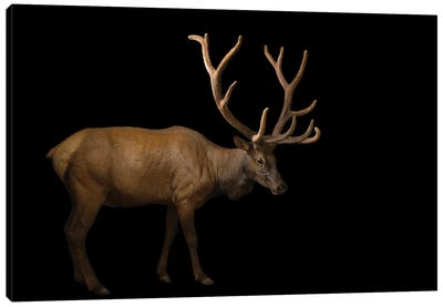 A Bull Elk With His Antlers In Velvet At The Oklahoma City Zoo Canvas Art Print