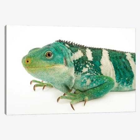 An Endangered And Federally Endangered Fiji Island Banded Iguana At The Los Angeles Zoo Canvas Print #SRR235} by Joel Sartore Canvas Wall Art