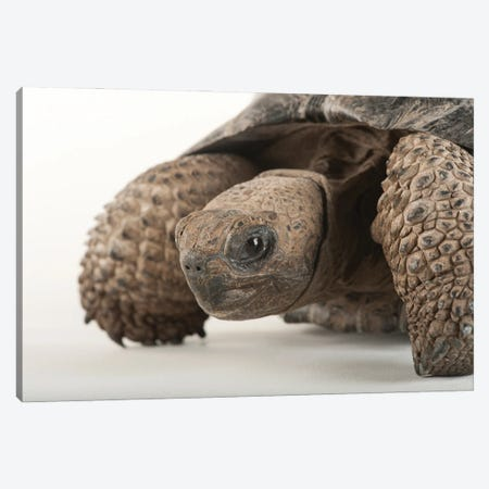 An Endangered And Federally Endangered Galapagos Tortoise At The Lincoln Children's Zoo Canvas Print #SRR236} by Joel Sartore Canvas Wall Art