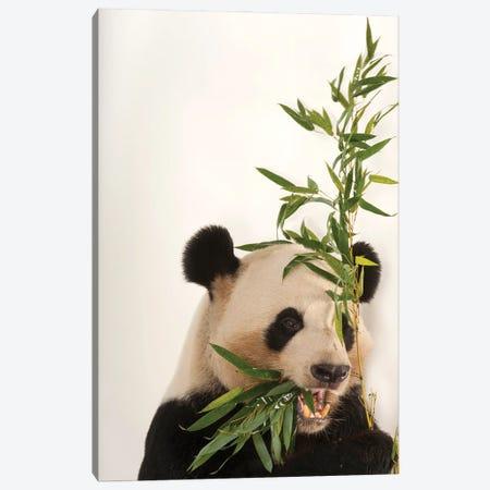 An Endangered And Federally Endangered Giant Panda At Zoo Atlanta Canvas Print #SRR237} by Joel Sartore Canvas Art