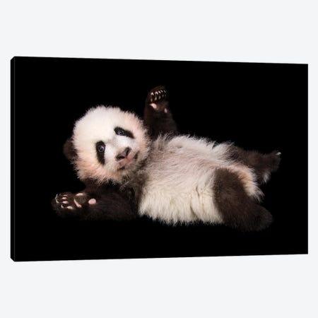 An Endangered And Federally Endangered Giant Panda Cub At Zoo Atlanta Canvas Print #SRR238} by Joel Sartore Canvas Art Print