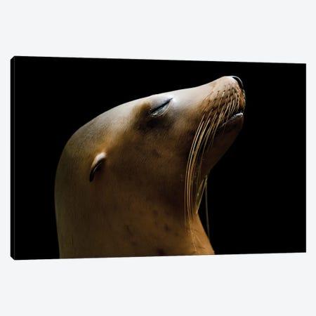 A California Sea Lion At The Houston Zoo Canvas Print #SRR23} by Joel Sartore Art Print