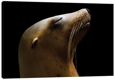 A California Sea Lion At The Houston Zoo Canvas Art Print