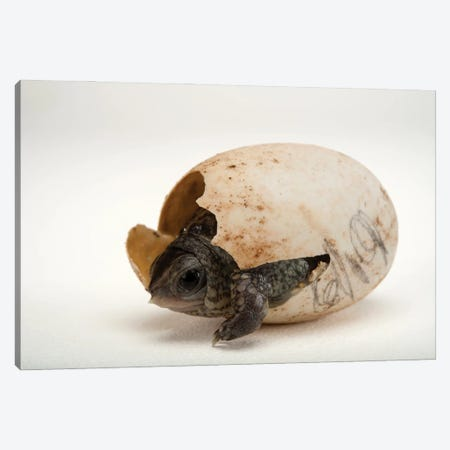 An Endangered Aquatic Box Turtle Hatchling Hatchling At The Gladys Porter Zoo In Brownsville, Texas Canvas Print #SRR241} by Joel Sartore Canvas Art