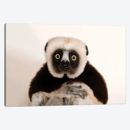 An Endangered Coquerel's Sifaka At The Houston Zoo Canvas Print #SRR243} by Joel Sartore Canvas Artwork