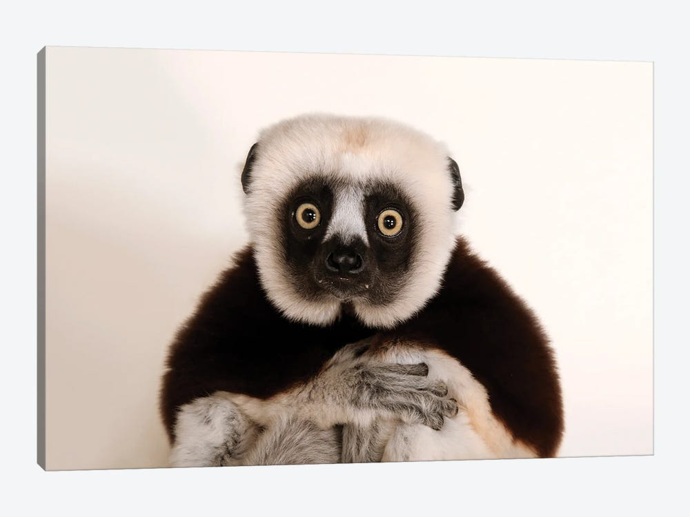 An Endangered Coquerel's Sifaka At The Houston Zoo by Joel Sartore 1-piece Canvas Artwork
