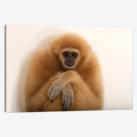 An Endangered Lar Gibbon At The Gladys Porter Zoo In Brownsville, Texas Canvas Print #SRR245} by Joel Sartore Art Print