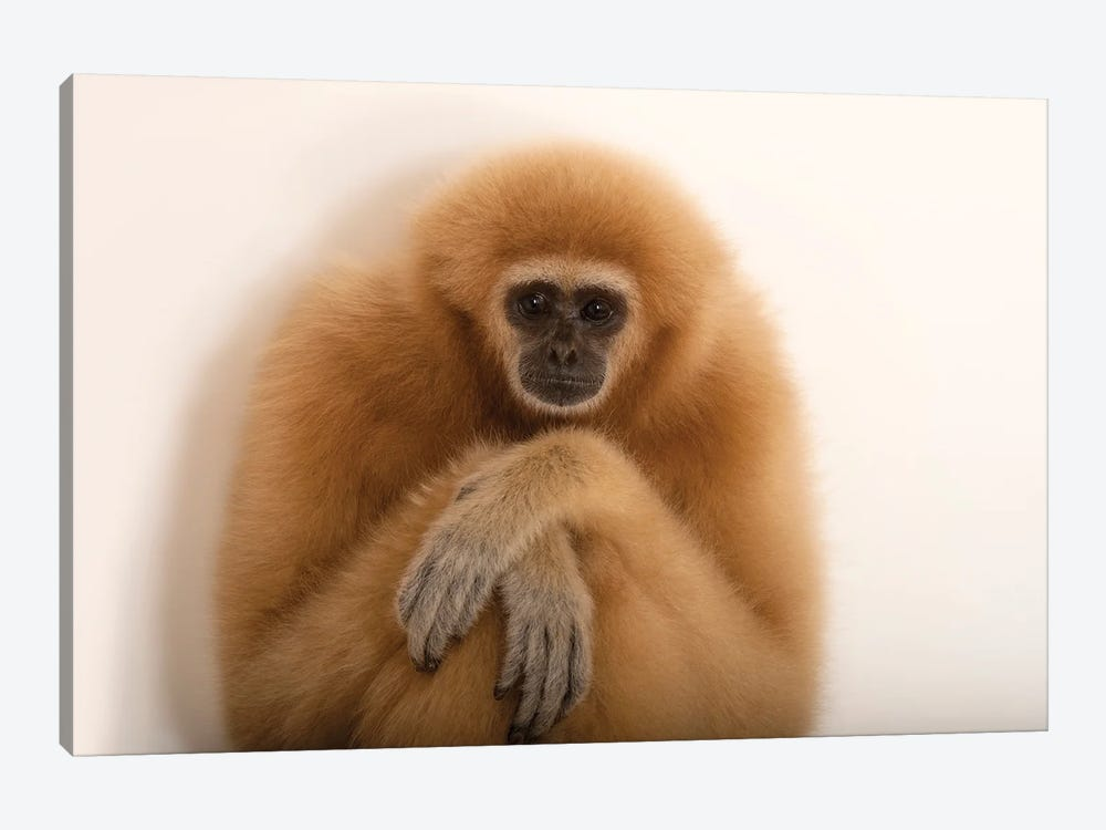 An Endangered Lar Gibbon At The Gladys Porter Zoo In Brownsville, Texas by Joel Sartore 1-piece Canvas Art