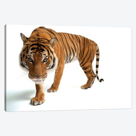 An Endangered Malayan Tiger At Omaha's Henry Doorly Zoo And Aquarium III Canvas Print #SRR248} by Joel Sartore Canvas Wall Art