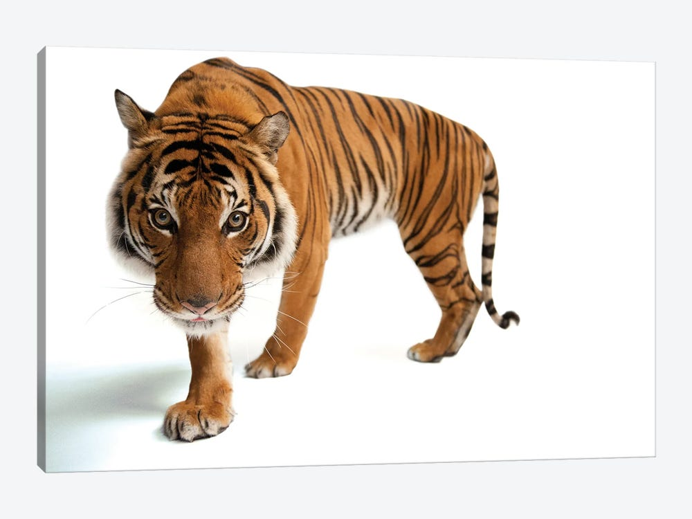 An Endangered Malayan Tiger At Omaha's Henry Doorly Zoo And Aquarium III by Joel Sartore 1-piece Canvas Print