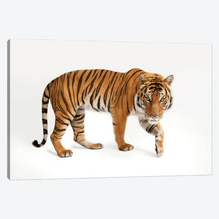An Endangered Malayan Tiger At Omaha's Henry Doorly Zoo And Aquarium IV Canvas Print #SRR249} by Joel Sartore Canvas Art