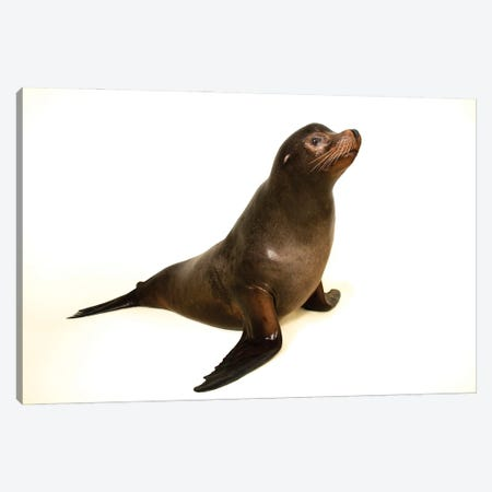A California Sea Lion At The Indianapolis Zoo This Animal Is Named Diego Canvas Print #SRR24} by Joel Sartore Canvas Wall Art