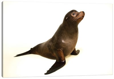 A California Sea Lion At The Indianapolis Zoo This Animal Is Named Diego Canvas Art Print