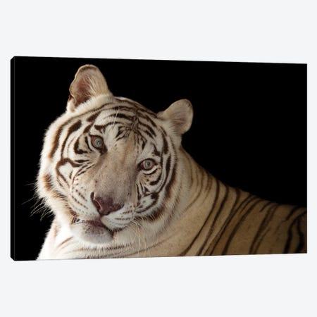 An Endangered Male White Bengal Tiger Named Rajah, At Alabama Gulf Coast Zoo Canvas Print #SRR250} by Joel Sartore Art Print