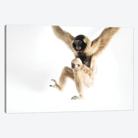 An Endangered Pileated Gibbon With Her Eight-Month-Old Infant At The Gibbon Conservation Center Canvas Print #SRR251} by Joel Sartore Canvas Art Print