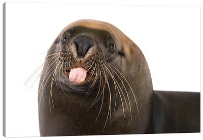 An Endangered, 12-Yr-Old Australian Sea Lion Named Malie, At The Taronga Zoo I Canvas Art Print