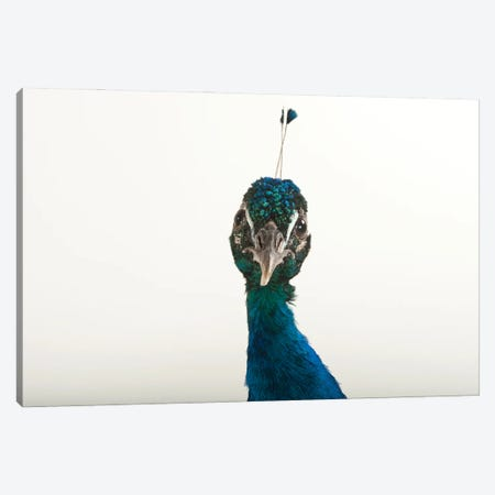 An Indian Blue Peafowl At The Lincoln Children's Zoo Canvas Print #SRR255} by Joel Sartore Canvas Art
