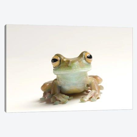 A Canal Zone Tree Frog At Zoo Atlanta Canvas Print #SRR25} by Joel Sartore Canvas Art